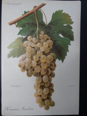 Wine Grapes Ximene's Jambom