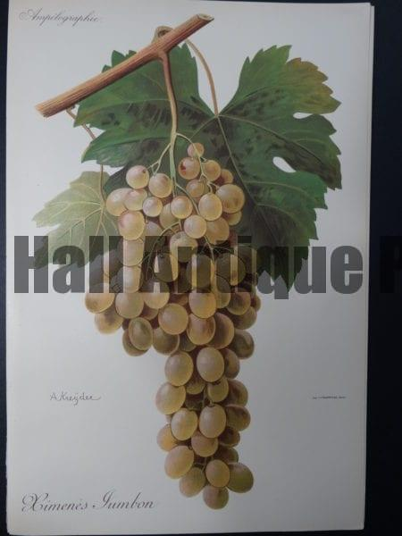 Wine Grapes Ximene's Jambom