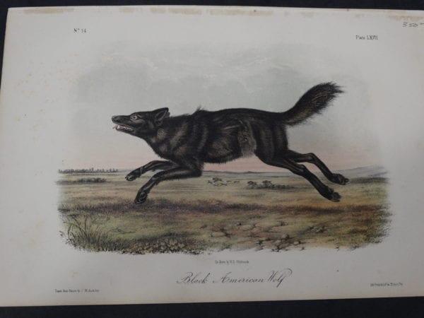 American Wolf. $350. 1855 Hand-Colored Lithograph. J.W. Audubon, J.T. Bowen, Philadelphia