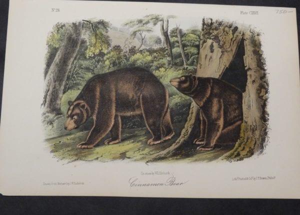 Woodland Audubon Cinnamon Bear $750. 1855. Original hand-colored Lithograph J.W. Audubon J.T. Bowen, Philadelphia.  Drawn on stone, by Wm E Hitchcock.