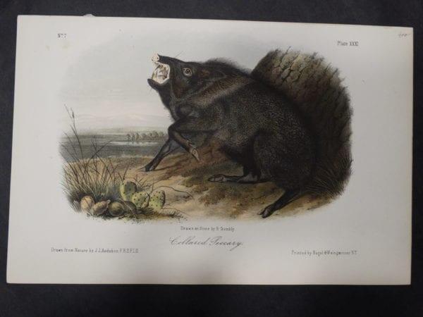 Woodland Audubon Collared Peccary $400. 1855 Hand-Colored Lithograph J.J. Audubon J.T. Bowen, Philadelphia