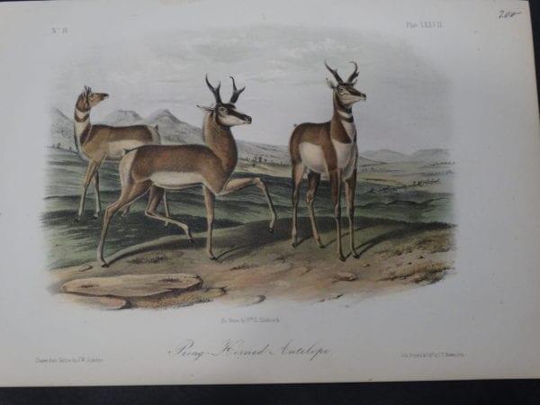 Woodland Audubon Prong Horned Antelope. 1855 Hand-colored Lithograph, J.W. Audubon J.T. Bowen, Philadelphia.  Drawn on stone by Wm E Hitchcock.
