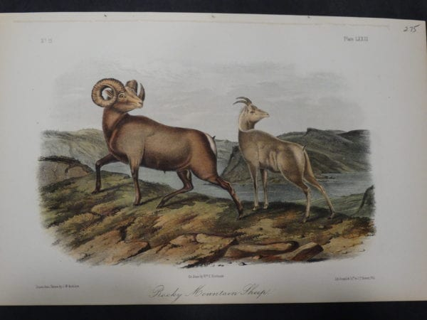 Woodland Audubon Rocky Mountain Sheep $275. 1855 Hand-colored Lithograph, J.W. Audubon J.T. Bowen, Philadelphia.  Drawn on stone by Wm E Hitchcock..