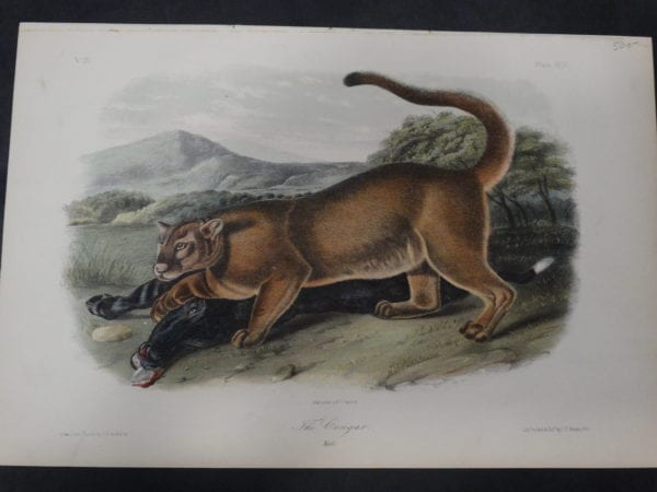 Woodland Animal, Audubon, Cougar Male. 1855 Hand-colored lithograph, J.W. Audubon, J.T. Bowen, Philadelphia.