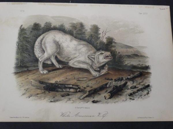 JJ Audubon, White American Wolf $300. 1855 Hand Coloured Lithograph J.W. Audubon J.T. Bowen, Philadelphia