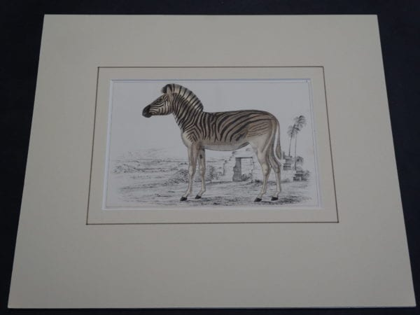 Old Zebra Engraving 9878 (Matted)