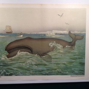 Whale Poster Chromolithograph from c.1900. Austrian. Huge. Stunning colors and condition.