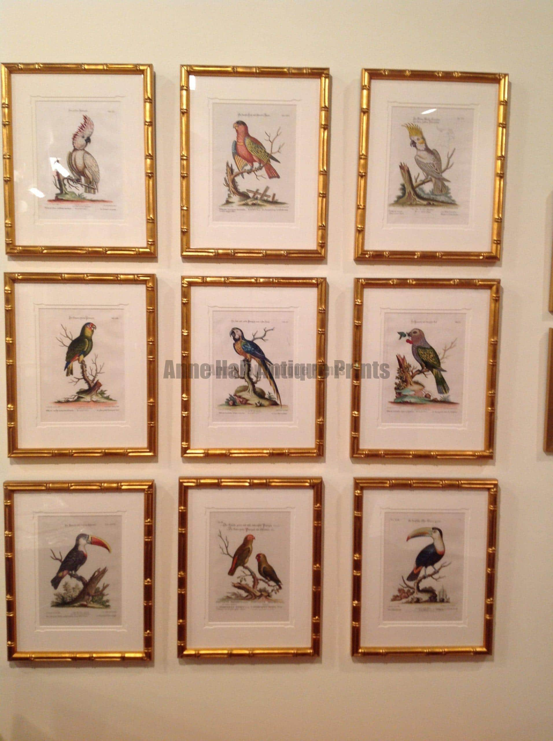 A striking display of nine framed George Edwards Parrots displayed stacked in 3 rows of three. Framed in gold leaf over red paint,  bamboo picture frames